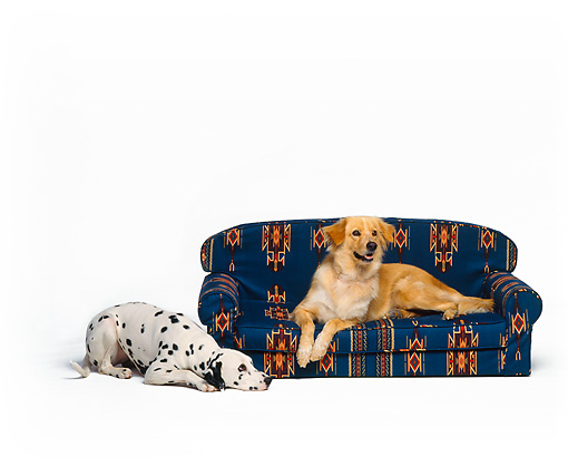 DOG 17 RK0523 01 © Kimball Stock Golden Retriever Mix Laying On Couch And Dalmation Laying On Floor White Seamless