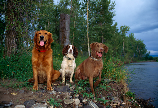 DOG 17 DB0001 01 © Kimball Stock Golden Retriever English Springer Spaniel And Chesapeake Bay Retriever By Lake And Trees