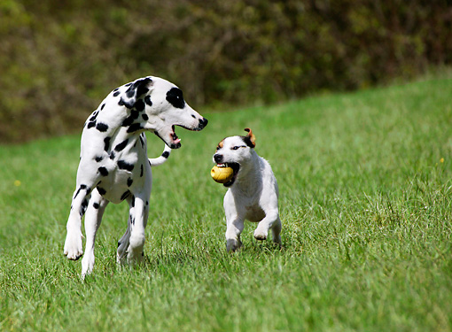 DOG 17 KH0001 01 © Kimball Stock Dalmation And Parson Russell Terrier Playing With Ball In Field