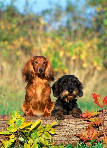 DOG 17 KH0002 01 © Kimball Stock Longhaired Dachshund And Wirehaired Dachshund Standing Up On Log With Leaves