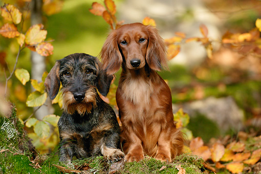 DOG 17 KH0003 01 © Kimball Stock Wirehaired Dachshund And Longhaired Dachshund Sitting In Forest