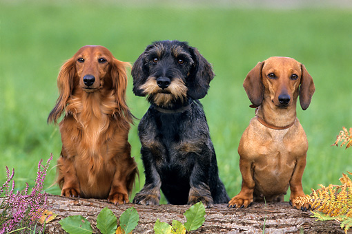 DOG 17 KH0004 01 © Kimball Stock Longhaired, Wirehaired, And Shorthaired Dachshunds Standing On Log