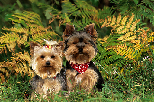 DOG 17 KH0006 01 © Kimball Stock Two Yorkshire Terriers Sitting In Front Of Ferns In Grass