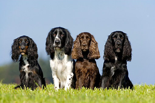 DOG 17 KH0010 01 © Kimball Stock Field Spaniels And English Springer Spaniel Sitting In Field