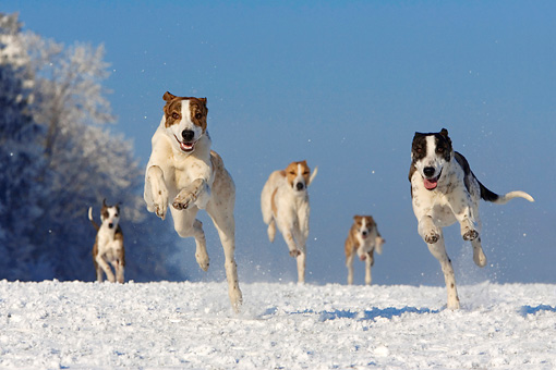 DOG 17 KH0014 01 © Kimball Stock Five Magyar Agars Running On Snow