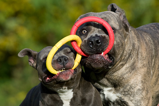 DOG 17 KH0016 01 © Kimball Stock American Staffordshire Terrier And Cane Corso Playing With Ring Toy