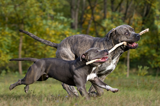 DOG 17 KH0018 01 © Kimball Stock American Staffordshire Terrier And Cane Corso Carrying Stick In Field