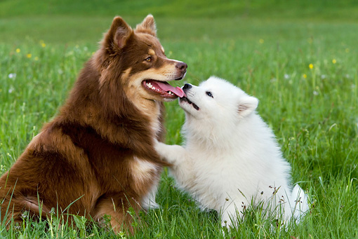 DOG 17 KH0019 01 © Kimball Stock Finnish Lapphund And Samoyed Kissing In Field