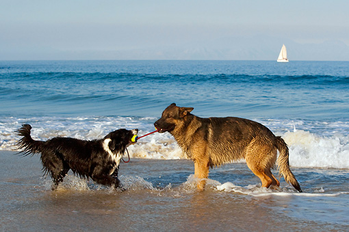 DOG 17 KH0024 01 © Kimball Stock German Shepherd And Border Collie Playing With Toy On Beach