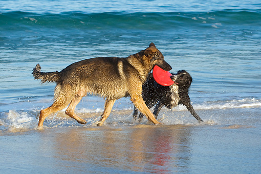 DOG 17 KH0025 01 © Kimball Stock German Shepherd And Border Collie Playing With Frisbee On Beach