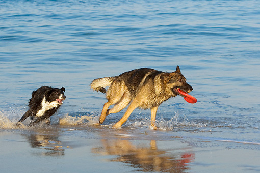 DOG 17 KH0026 01 © Kimball Stock German Shepherd And Border Collie Playing With Frisbee On Beach