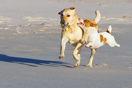 DOG 17 KH0030 01 © Kimball Stock Yellow Labrador Retriever And Jack Russell Terrier Running On Beach