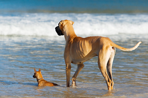 DOG 17 KH0035 01 © Kimball Stock Great Dane And Miniature Pinscher Standing In Surf On Beach