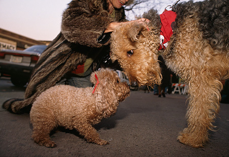 DOG 17 MQ0005 01 © Kimball Stock Airedale Terrier And Poodle Nose To Nose Manhattan New York