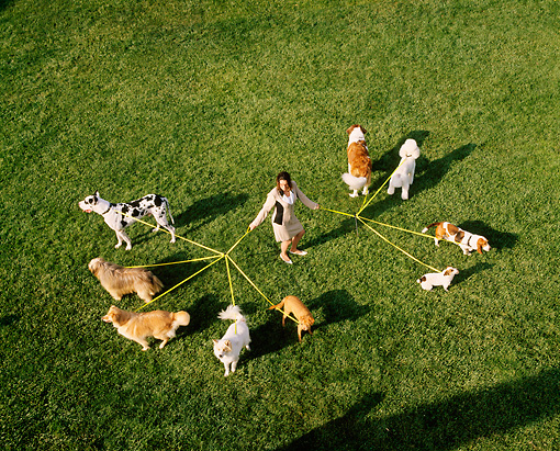 DOG 17 RK0012 08 © Kimball Stock Overhead Shot Of Group Of Dogs On Leash On Grass