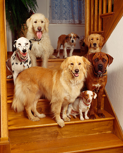 DOG 17 RK0020 08 © Kimball Stock A Group Of Dogs Sitting On Wooden Stairs In Home