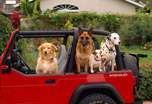 DOG 17 RK0026 48 © Kimball Stock Group of Dogs Sitting In Red Jeep