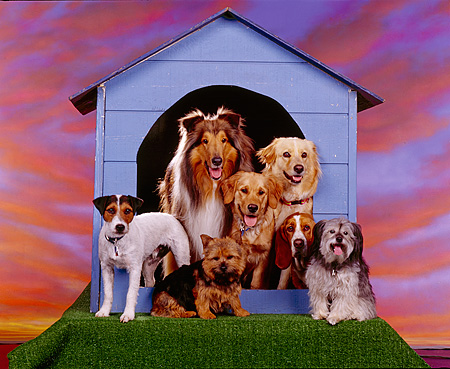 DOG 17 RK0034 31 © Kimball Stock All Star Group Of Dogs Standing Outside Of Dog House Sunset Background