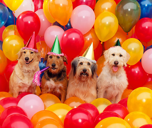 DOG 17 RK0037 04 © Kimball Stock A Group Of Dogs Wearing Party Hats By Balloons Studio