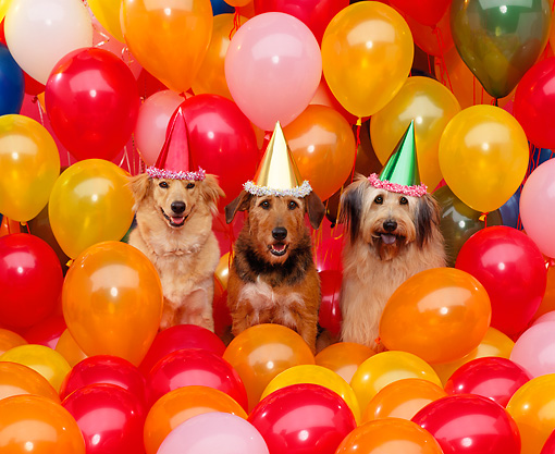 DOG 17 RK0039 12 © Kimball Stock A Group Of Dogs Sitting With Party Hats Surrounded By Balloons Studio