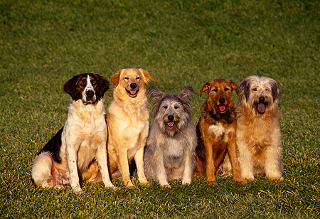 DOG 17 RK0045 02 © Kimball Stock Group of Dogs Sitting In A Row On Grass