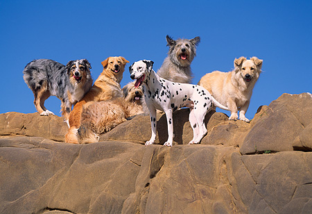 DOG 17 RK0052 17 © Kimball Stock Group of Dogs Standing On Top Of Rocks Blue Sky