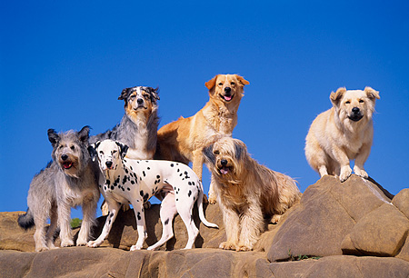 DOG 17 RK0052 32 © Kimball Stock Group of Dogs Standing On Top Of Rocks Blue Sky