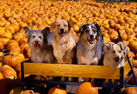 DOG 17 RK0056 01 © Kimball Stock A Group Of Dogs Sitting On Wooden Bench At Pumpkin Patch Facing Camera
