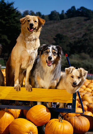 DOG 17 RK0058 02 © Kimball Stock A Group Of Dogs Sitting On Wooden Bench At Pumpkin Patch Trees Blue Sky