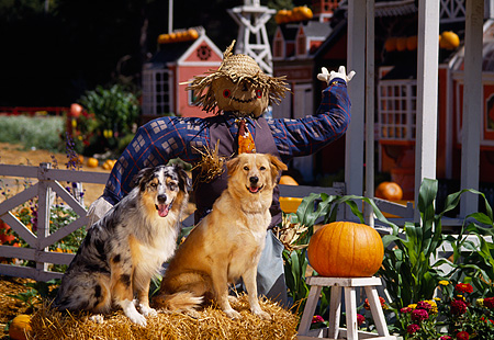 DOG 17 RK0059 01 © Kimball Stock A Group Of Dogs Sitting On Hay Stack By Scarecrow At Pumpkin Patch