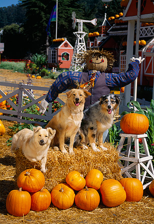 DOG 17 RK0059 29 © Kimball Stock A Group Of Dogs Sitting On Hay Stack By Scarecrow At Pumpkin Patch