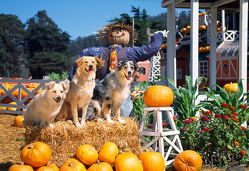 DOG 17 RK0059 33 © Kimball Stock A Group Of Dogs Sitting On Hay Stack By Scarecrow At Pumpkin Patch
