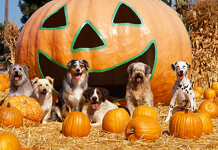 DOG 17 RK0064 03 © Kimball Stock A Group Of Dogs Sitting Together On Hay At Pumpkin Patch In Front Of Big Pumpkin