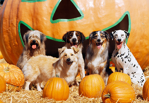 DOG 17 RK0064 08 © Kimball Stock A Group Of Dogs Sitting Together On Hay At Pumpkin Patch In Front Of Big Pumpkin