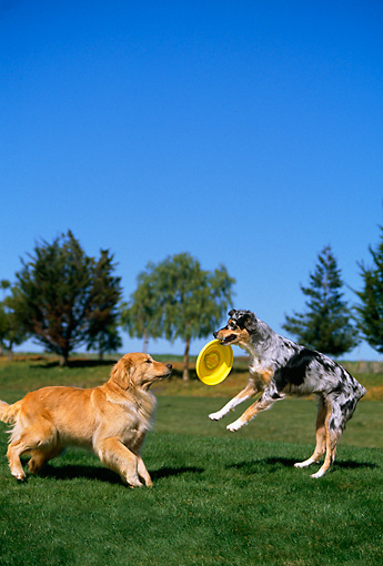 DOG 17 RK0083 06 © Kimball Stock Golden Retriever And Australian Shepherd Playing In Park With Frisbee