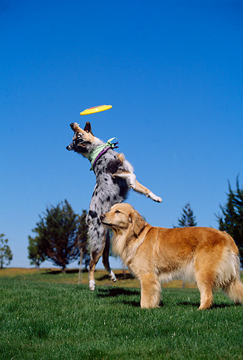 DOG 17 RK0083 17 © Kimball Stock Golden Retriever And Australian Shepherd Playing In Park With Frisbee