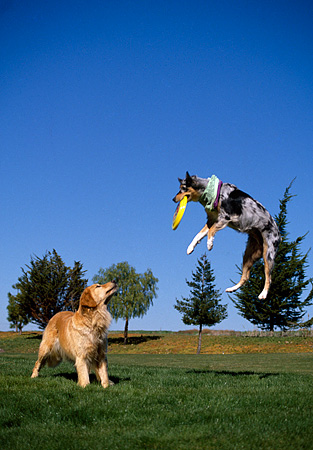 DOG 17 RK0090 01 © Kimball Stock Golden Retriever And Australian Shepherd Playing And Jumping At Park