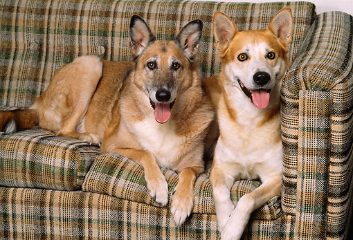 DOG 17 RK0093 02 © Kimball Stock Dogs Laying Together On Plaid Couch