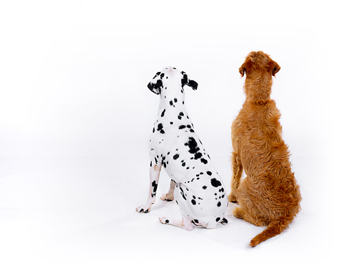 DOG 17 RK0108 03 © Kimball Stock Dalmatian And Mixed Breed Sitting With Back Turned Against Camera White Seamless