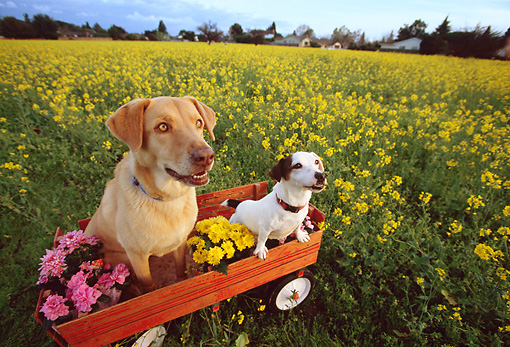DOG 17 RK0111 18 © Kimball Stock Jack Russell Terrier And Yellow Labrador Retriever Sitting In Red Wagon