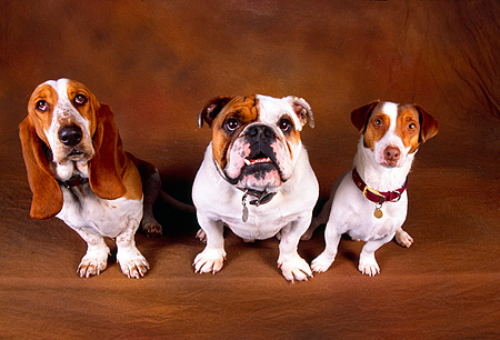 DOG 17 RK0515 01 © Kimball Stock Three Dogs Sitting Together On Brown Background