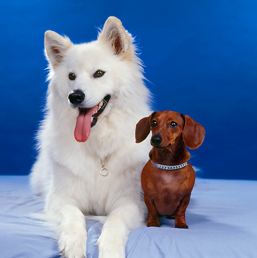 DOG 17 RS0013 01 © Kimball Stock Portrait Of American Eskimo Dog And Dachshund Laying On Table Blue Background