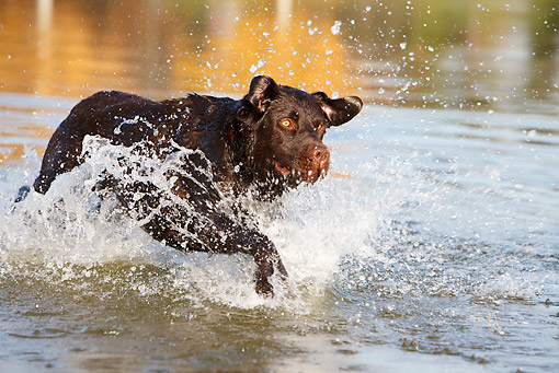 DOG 18 CB0007 01 © Kimball Stock Chocolate Labrador Retriever Splashing Through Shallow Water