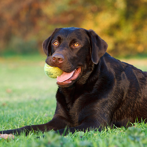DOG 18 CB0027 01 © Kimball Stock Chocolate Labrador Laying In Grass With Tennis Ball