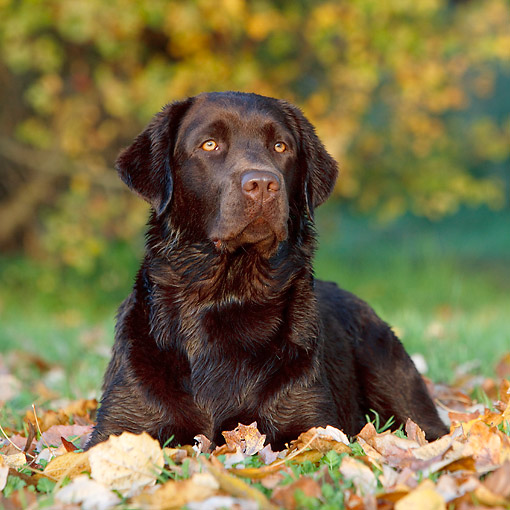 DOG 18 CB0028 01 © Kimball Stock Chocolate Labrador Laying In Leaves