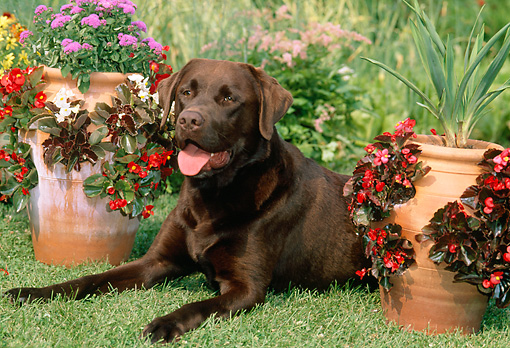 DOG 18 CE0044 01 © Kimball Stock Chocolate Labrador Retriever Laying On Grass By Flower Pots