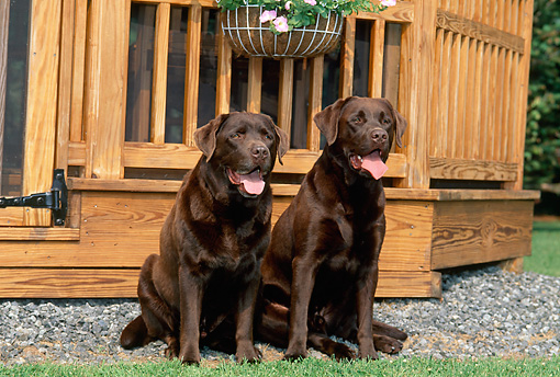 DOG 18 CE0046 01 © Kimball Stock Two Chocolate Labrador Retrievers Sitting On Gravel By House