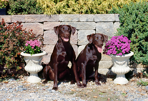 DOG 18 CE0047 01 © Kimball Stock Two Chocolate Labrador Retrievers Sitting On Gravel By Brick Wall And Flowers
