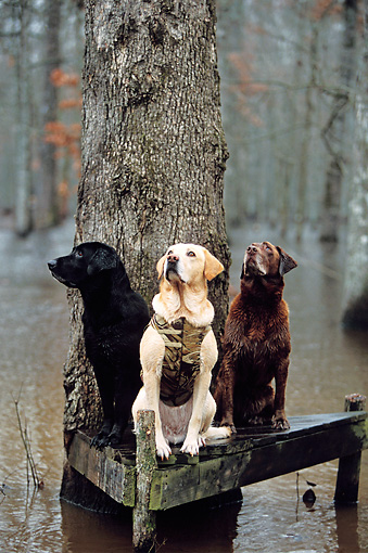 DOG 18 DB0019 01 © Kimball Stock Black Yellow And Chocolate Labrador Retrievers Sitting On Tree Stand In Swamp