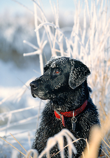 DOG 18 DB0032 01 © Kimball Stock Head Shot Of Black Labrador Retriever Laying Covered In Snow